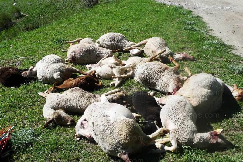 une-vingtaine-de-brebis-et-d-agneaux-ont-ete-partiellement-devores-ces-derniers-jours-dans-les-queyras-par-un-predateur-un-tir-de-defense-pourrait-etre-autorise-800x533